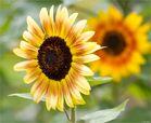 Sonnenblume (Helianthus)