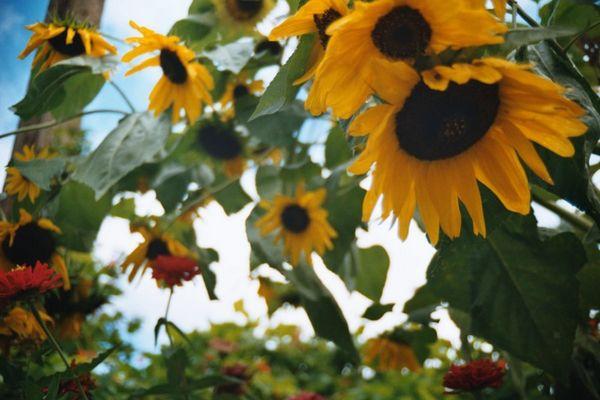 sonnenblume Igels