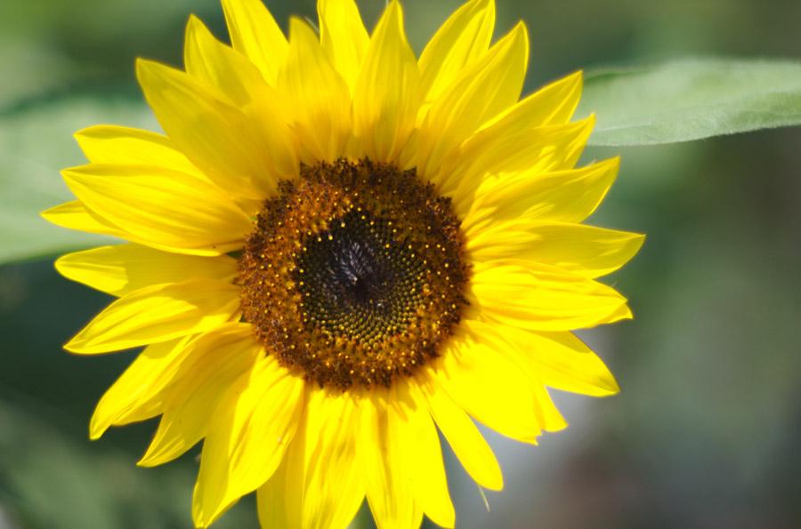 Sonnenblume III