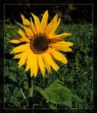 #...Sonnenblume im Herbst........#