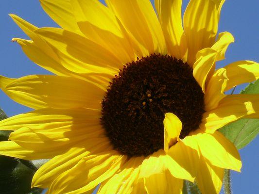 Sonnenblume im Portait