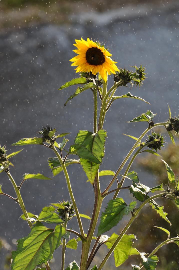 Sonnenblume im Regen von hinten durch die Abendsonne angestrahlt