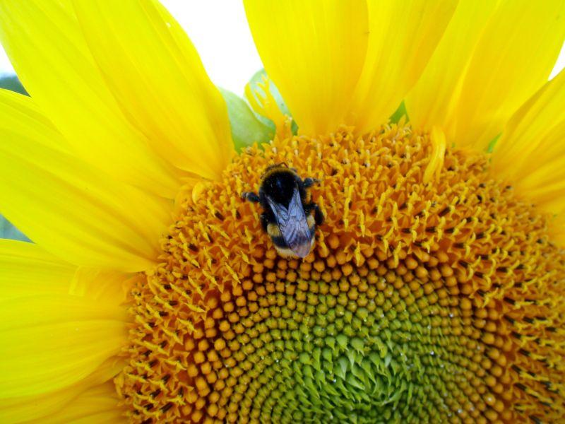 Sonnenblume im Sonnenschein