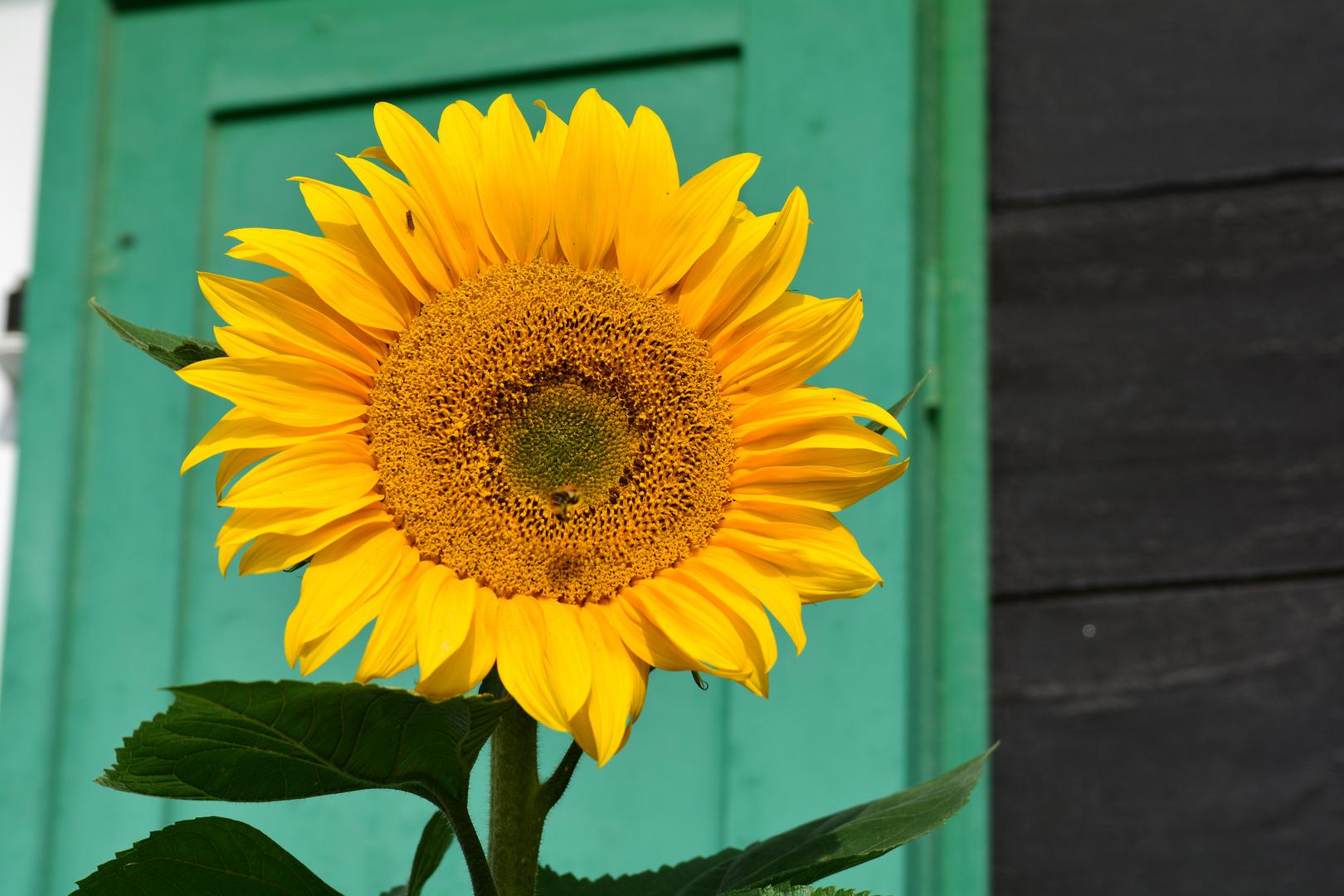 Sonnenblume im Spreewald