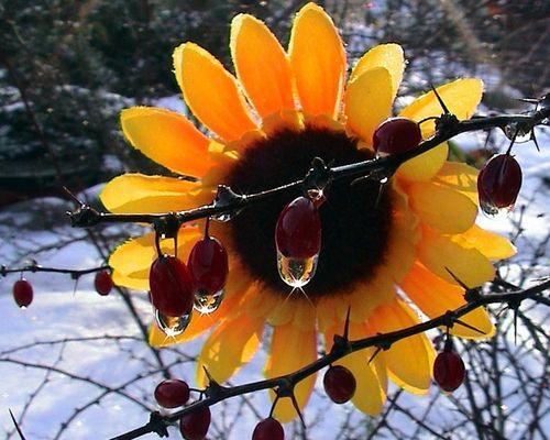 Sonnenblume im Tropfen -  gefangen?
