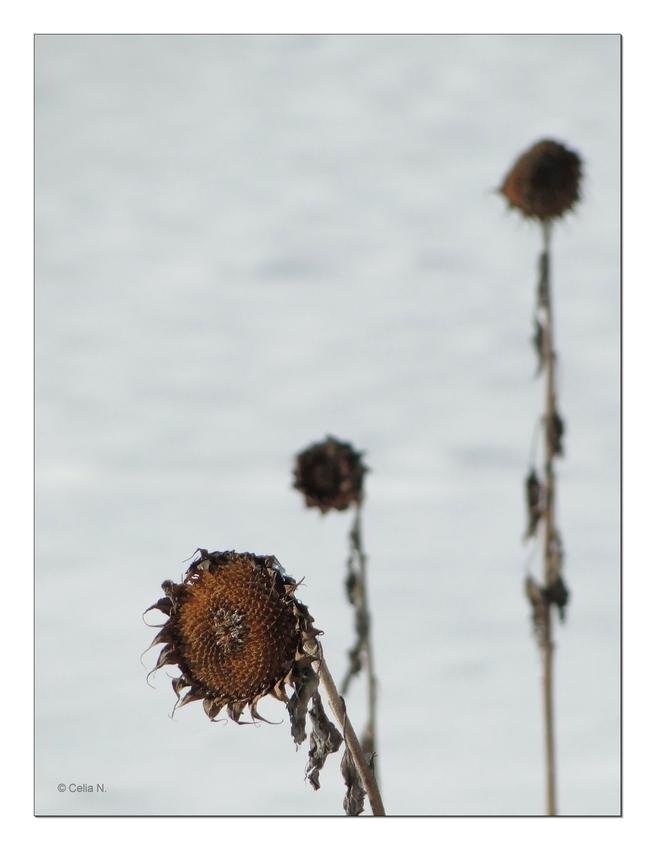 Sonnenblume im Winter