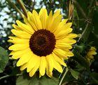 Sonnenblume in einem Kagraner Garten
