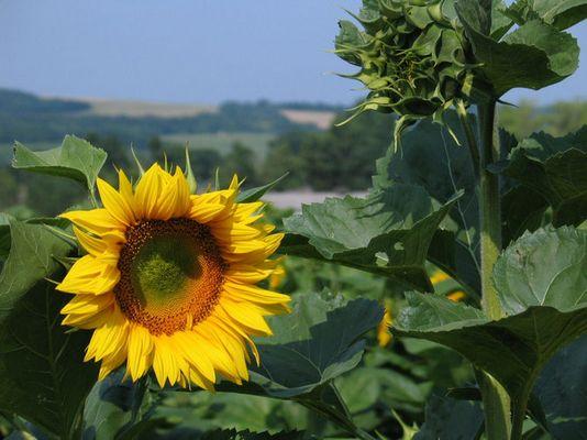 Sonnenblume in Pannonhalma