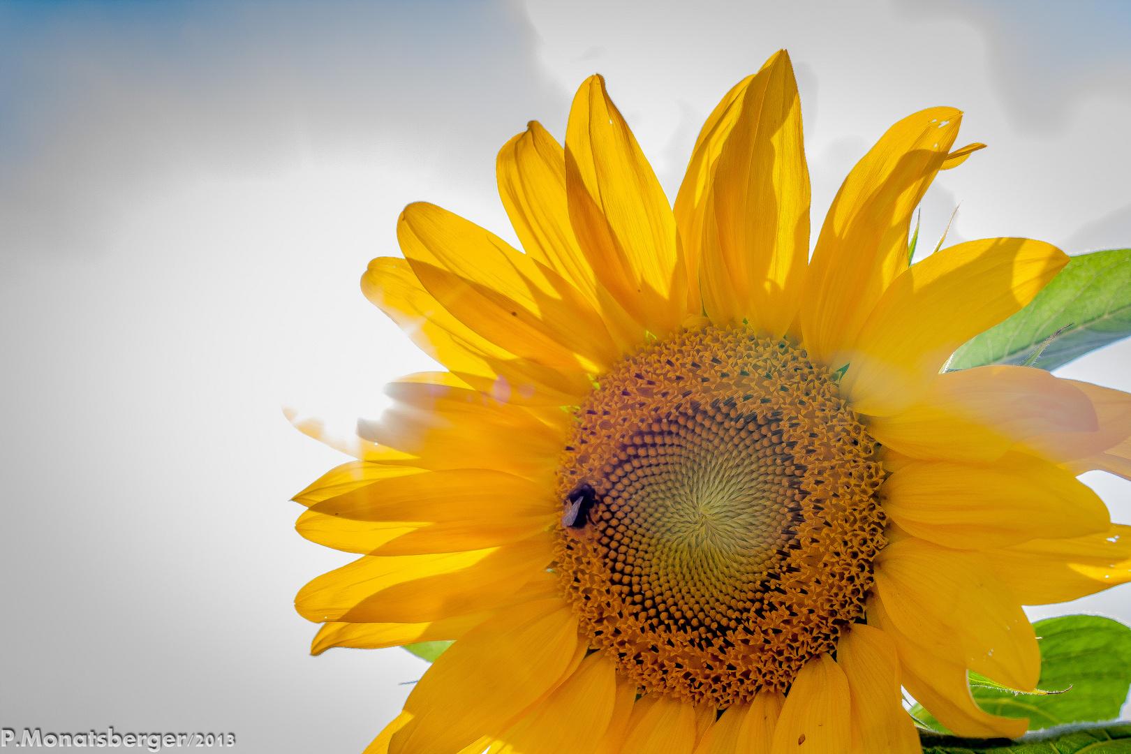 Sonnenblume in the sun