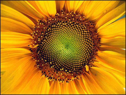 Sonnenblume (kleine Sonne)