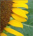Sonnenblume mal anders