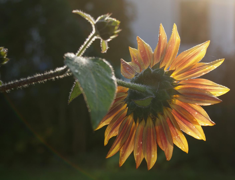 Sonnenblume - mal anders...