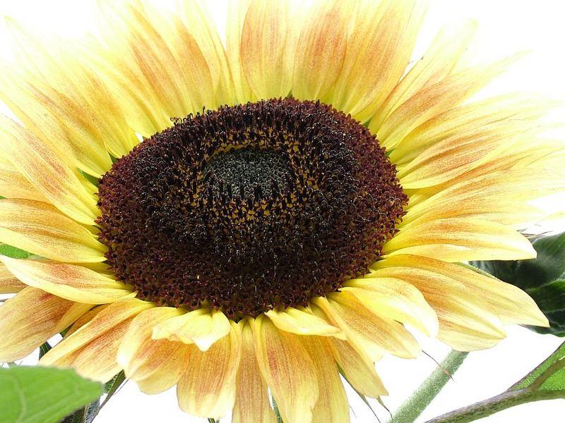 Sonnenblume mal anders...