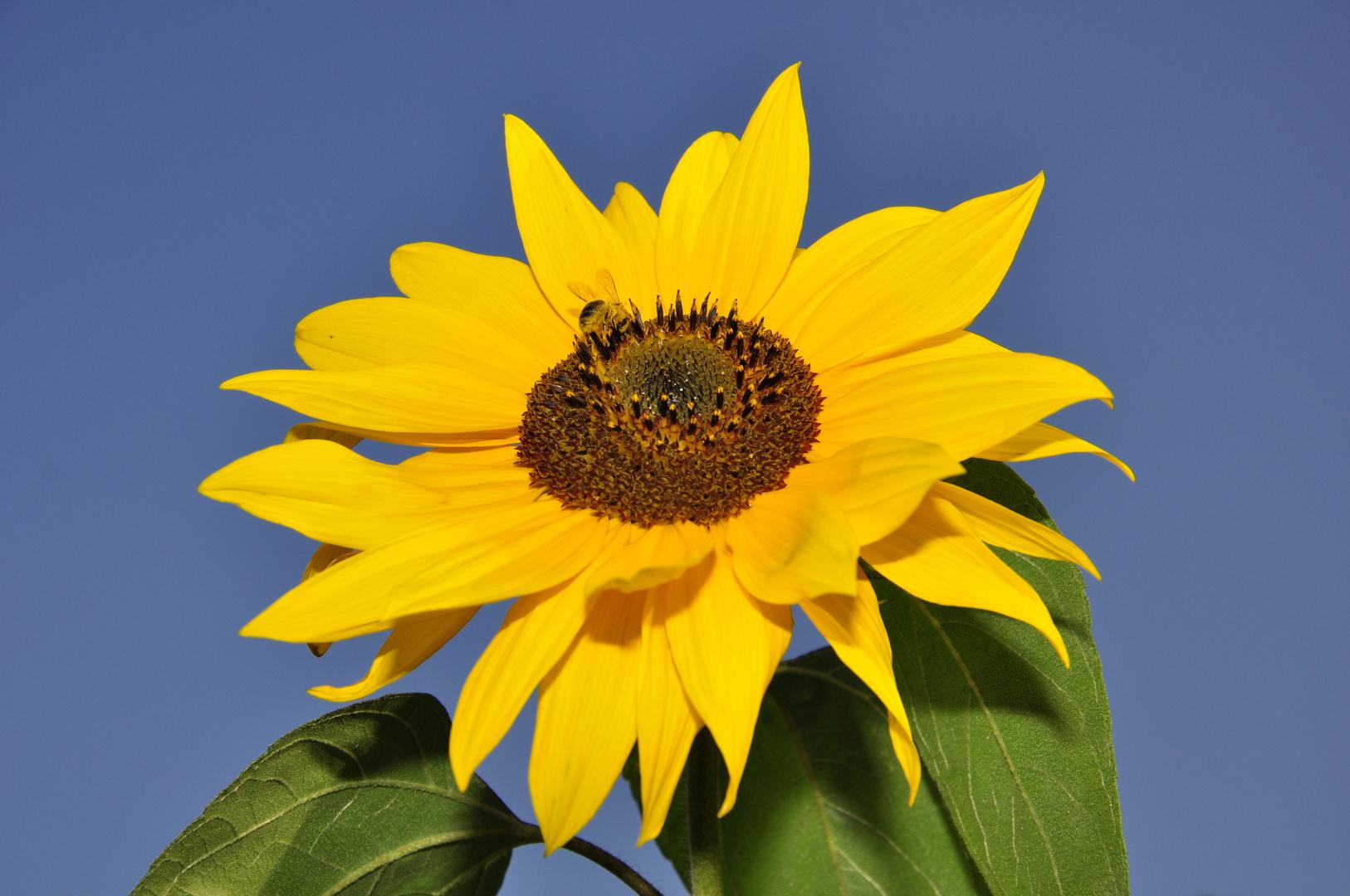 Sonnenblume meats Biene