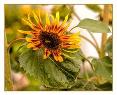 Sonnenblume mit Besucher
