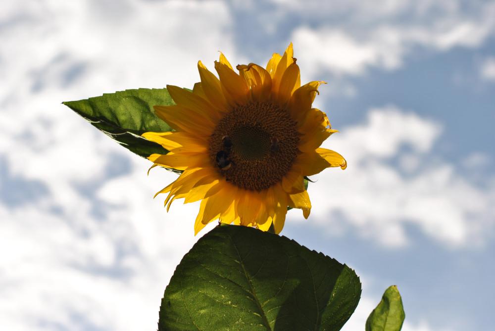Sonnenblume mit Besuchern