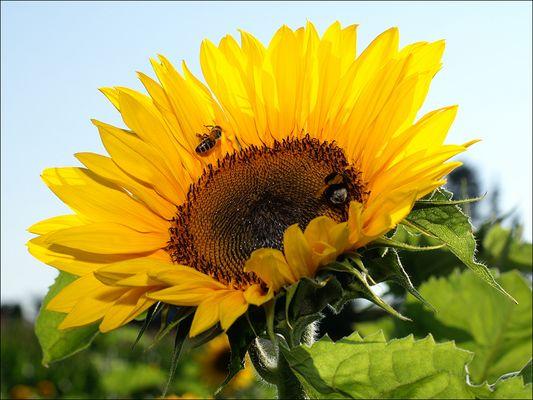 Sonnenblume mit Biene und Hummel
