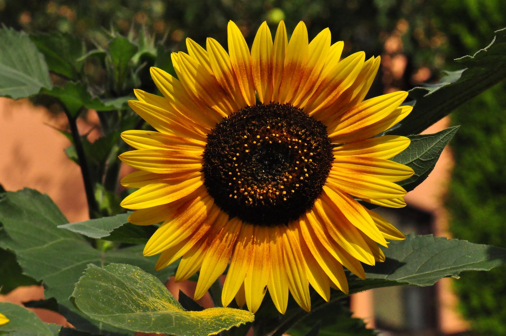 Sonnenblume mit Blütenstaub
