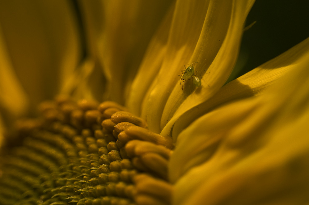 Sonnenblume mit Haustieren