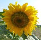 Sonnenblume mit Herz :)