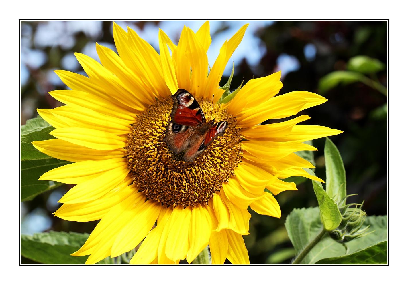 sonnenblume mit schmetterling foto bild pflanzen pilze flechten bl ten kleinpflanzen. Black Bedroom Furniture Sets. Home Design Ideas