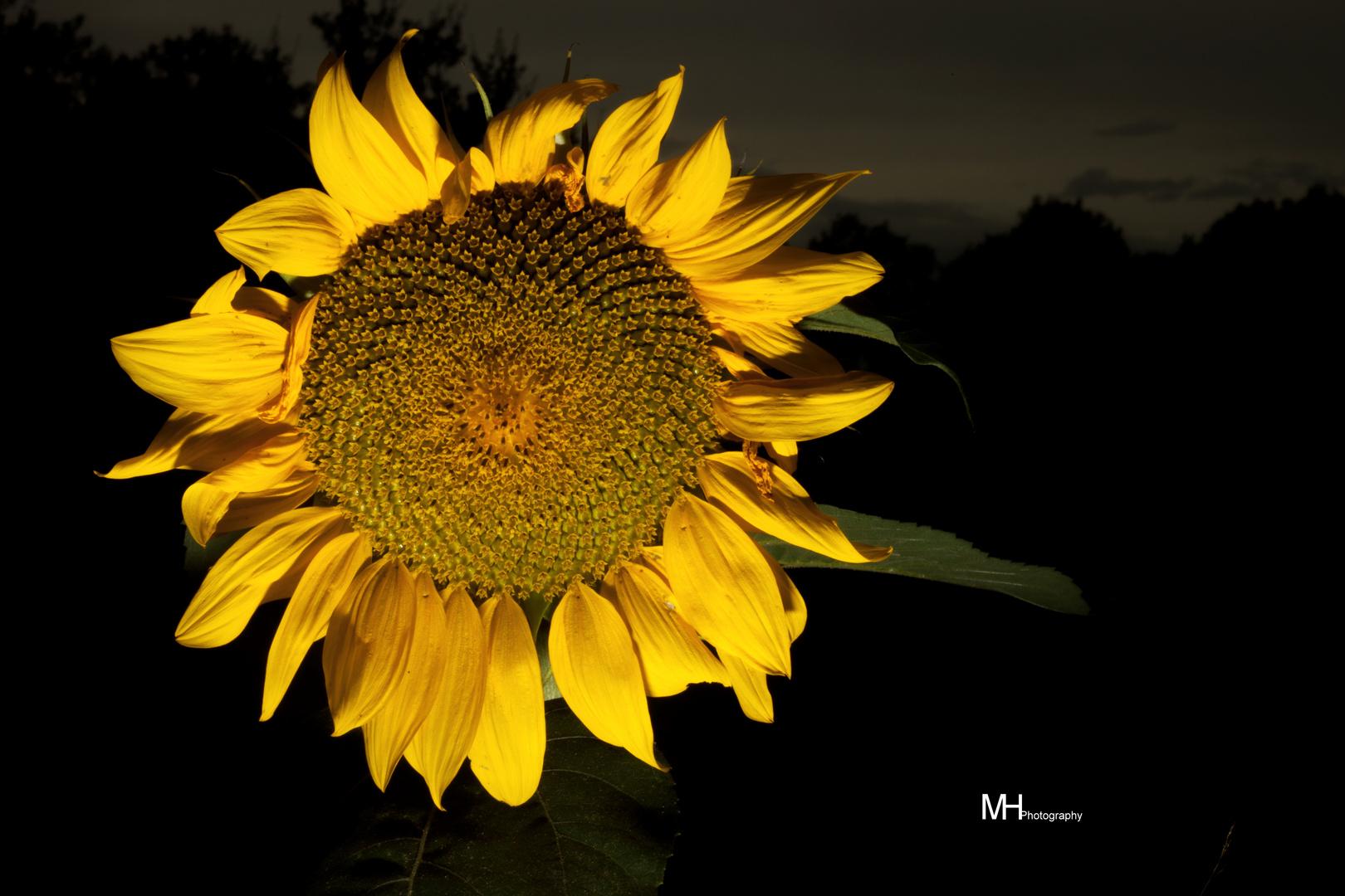 sonnenblume nachts