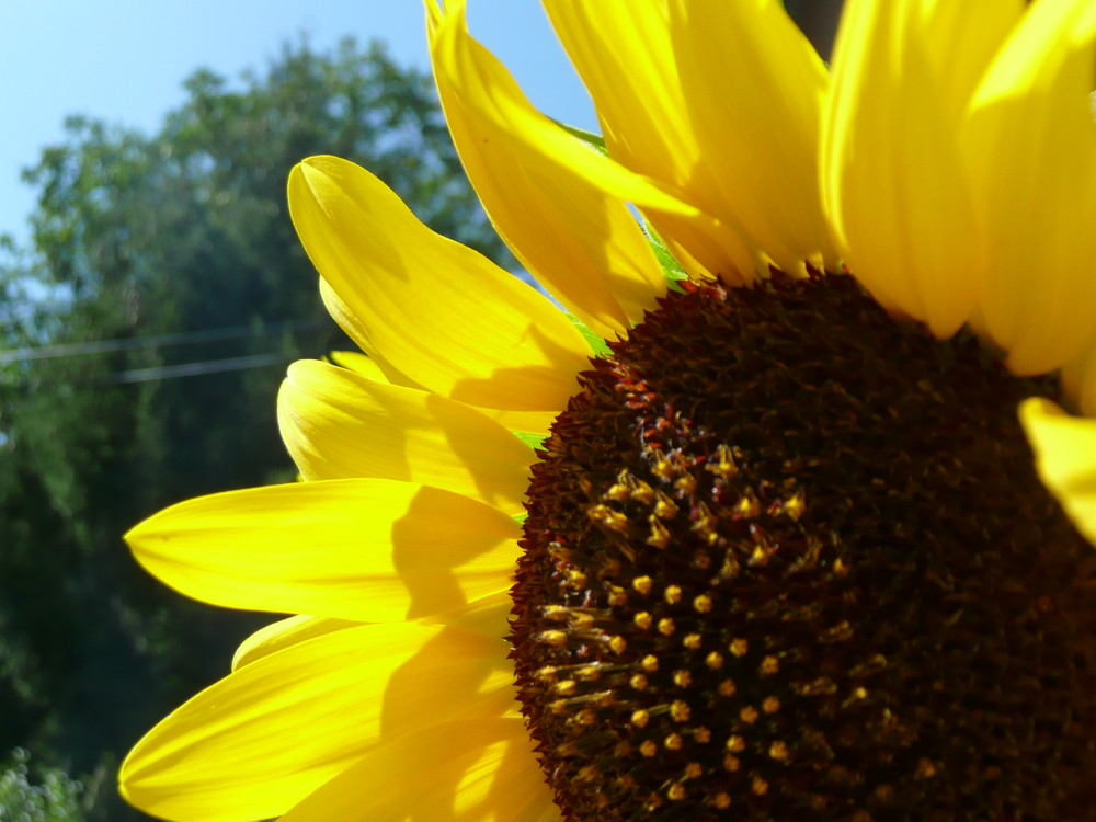 "Sonnenblume ""neugierig"""