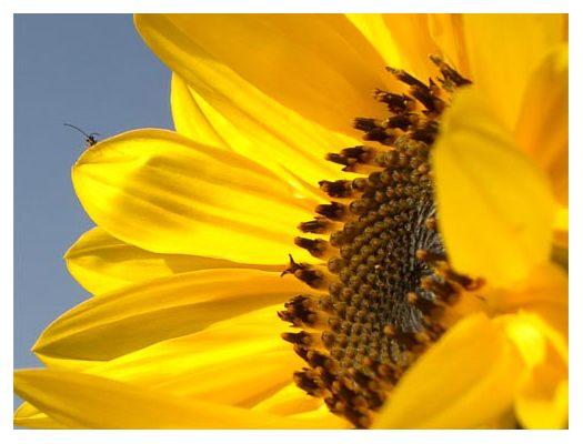 Sonnenblume und der kleine Besucher Flip