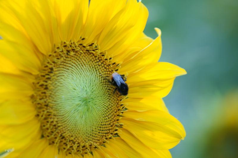 Sonnenblume und Hummel