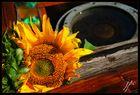 Sonnenblume und Kompass