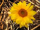 Sonnenblume und Schrott