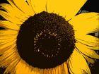 Sonnenblume veredelt