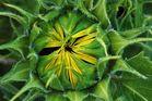 Sonnenblume vor dem Aufblühen