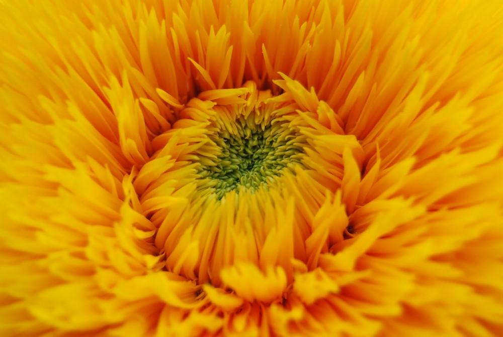 Sonnenblume09