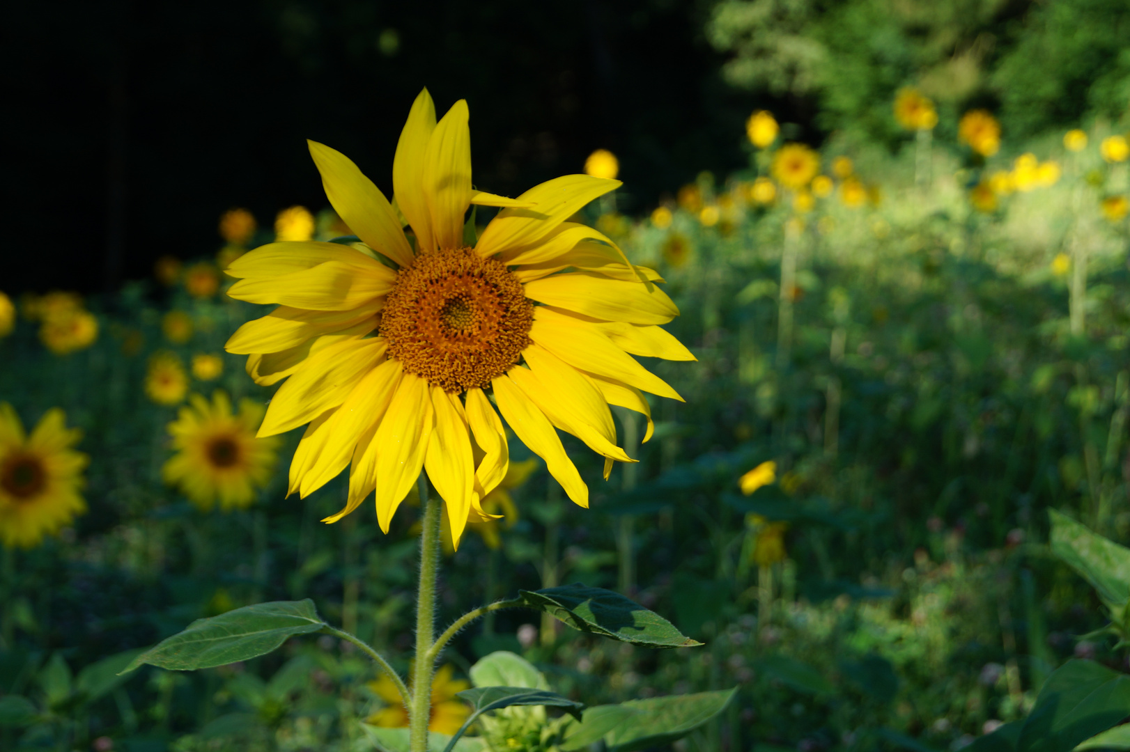 Sonnenblumee =)