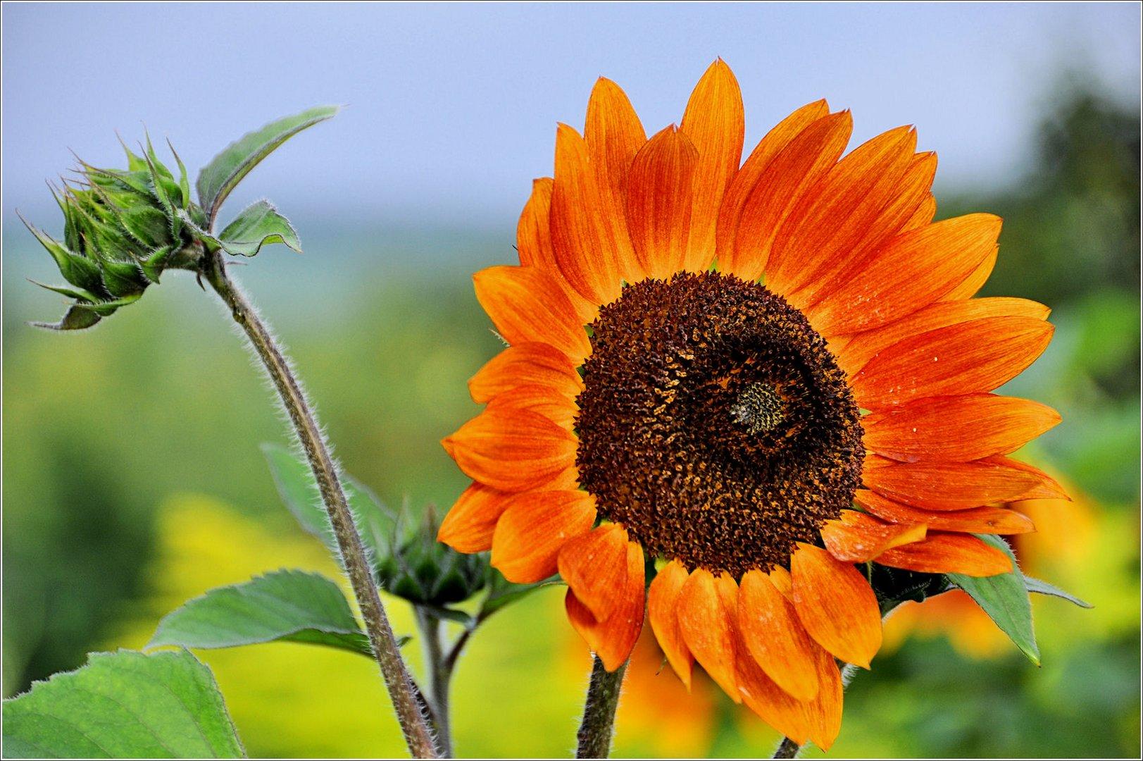 Sonnenblumen-2-