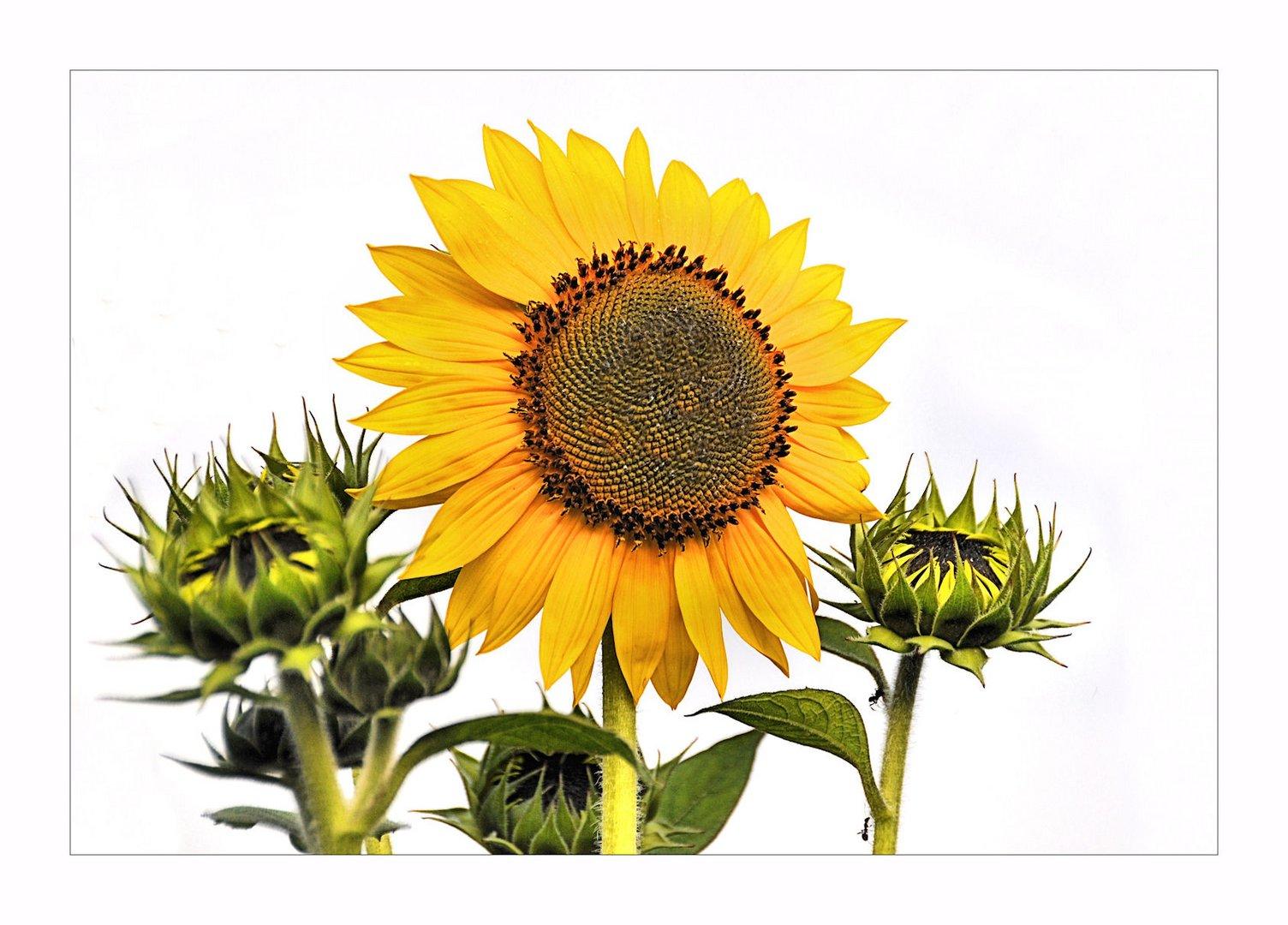 # Sonnenblumen