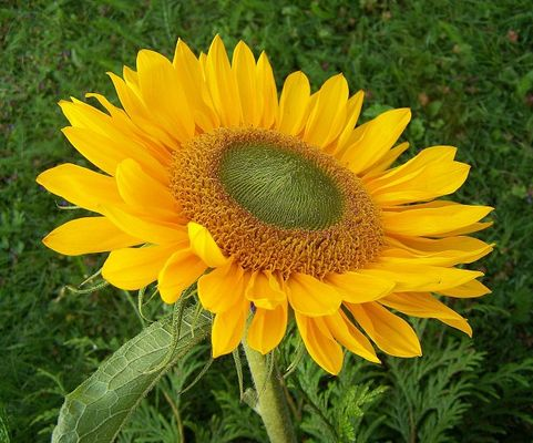 Sonnenblumen :)