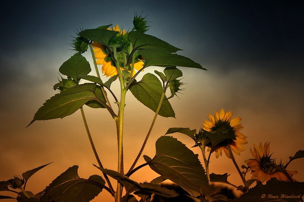 ~ Sonnenblumen ~