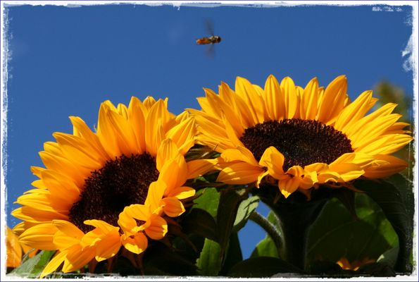 °° Sonnenblumen °°
