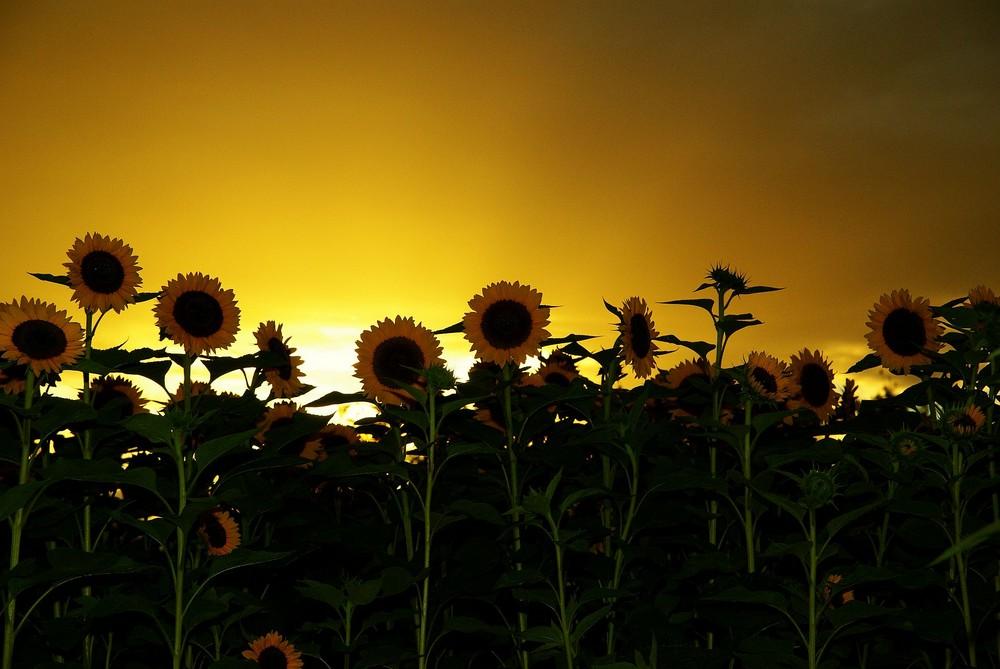 Sonnenblumen am goldenen Himmel