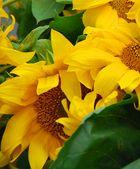 Sonnenblumen am Marktstand