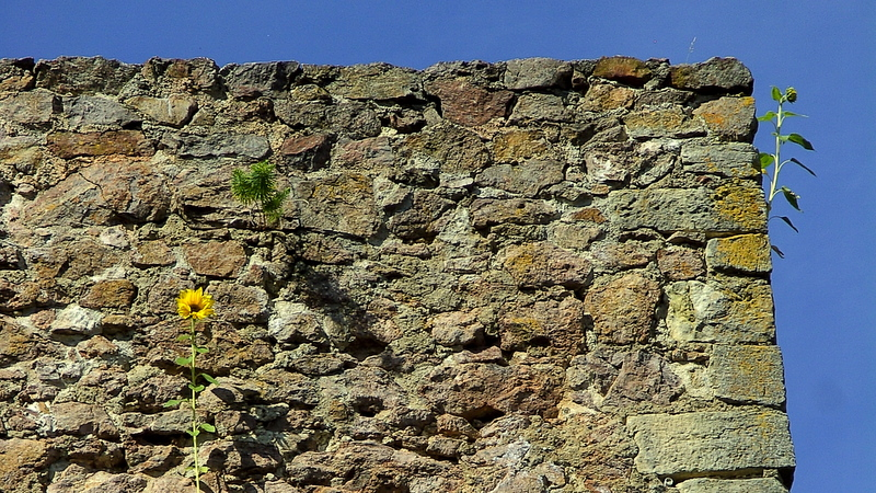 Sonnenblumen an der alten Burgmauern der Ruine Donaustauf ( wie kommen die da rauf?)