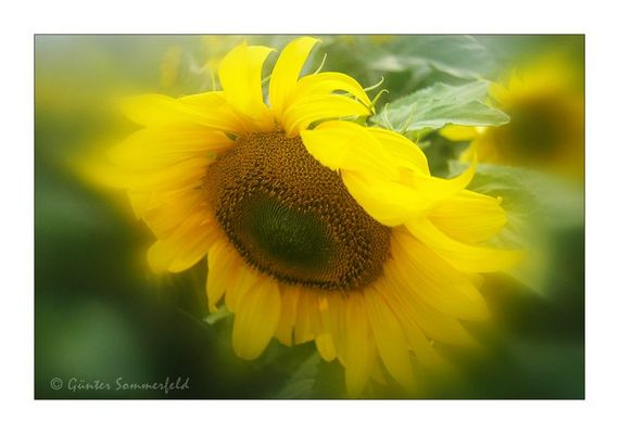 Sonnenblumen-Aquarell
