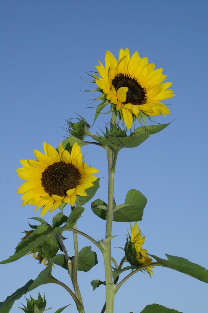 Sonnenblumen auf meiner Terasse