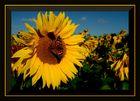 Sonnenblumen aus Hamminkeln...