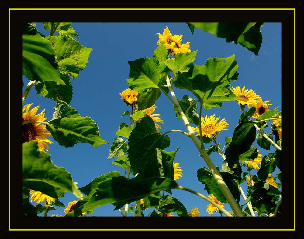 Sonnenblumen aus Hamminkeln...2