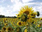 Sonnenblumen bei Bischberg
