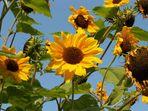 Sonnenblumen - blauer Himmel