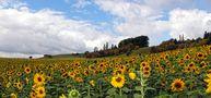 DE: Sonnenblumen by H. Gasch
